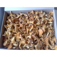 Chanterelles cutting wholesale
